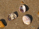 Slipper limpets