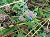 Common blue, male and female