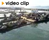 The famous sealions of Pier 39