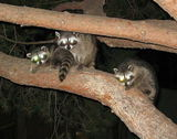 The racoons again