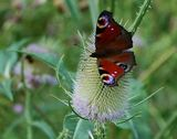 Things I saw today - a peacock butterfly