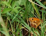 Things I saw today - gatekeeper butterflies