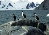 Three shags on a rock