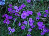 Twilight aubretia