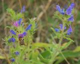 Vipers bugloss (with bee)