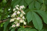 White-flowered chestnut