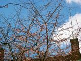 Winter flowering cherry blossom