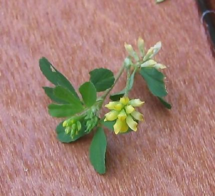 Tiny yellow clover flower
