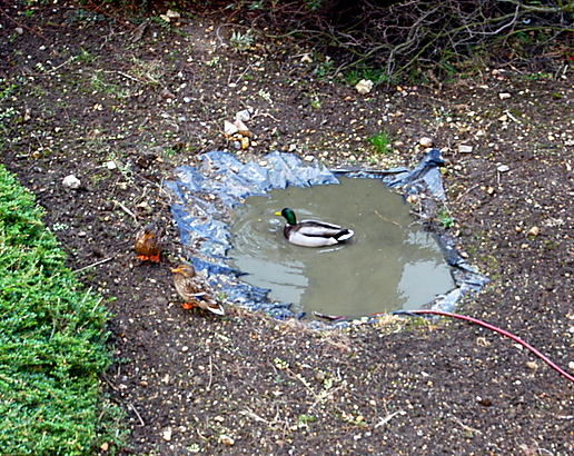 World's smallest duck pond