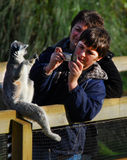 Ring Tailed Lemurs Posing