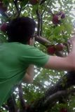 Applepickers