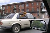 Dog on Board