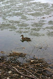 ducks in the still icy Saint Lawrence