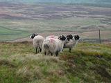 Yorkshire sheep