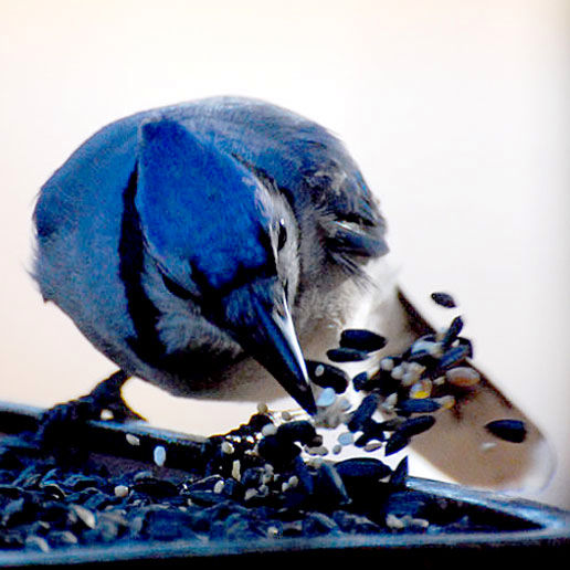 Bluejay Spray