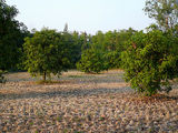 Dried Up Paddy Field and Mango Trees
