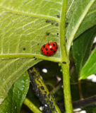 A loveliness of ladybirds