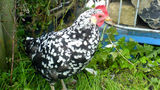 Appaloosa chicken