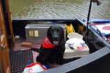 Narrowboat Labrador