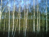 Birch wood in the morning