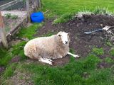Harry the sheep