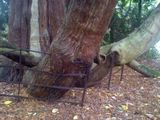 Tree eats fence shocker!