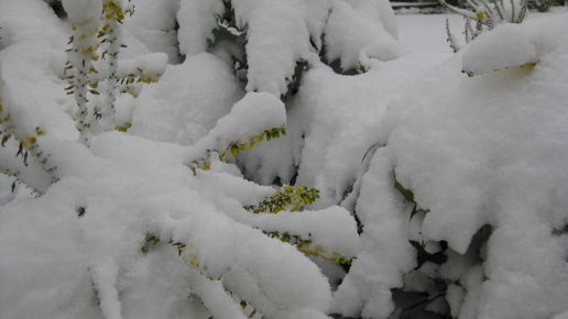 Mahonia and Witchhazel under snow