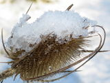 Berry and Teasel in snow