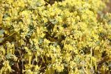 Wattle of some kind