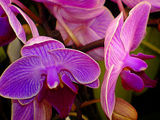 For Orchid-lovers, everywhere