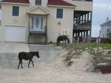 Wild Horses - North Carolina Outter Banks