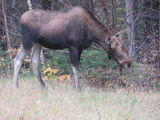 Moose Sighting in Bartlett, NH - October 16th, 2011