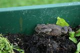 Toad in the Hole/Garden