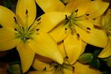 Yellow Lillies