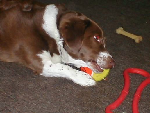 Max the dog destroys another toy