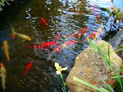 Pond fish koi at hejira continued for Koi fish pond help