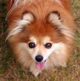 Foxie the Pomeranian