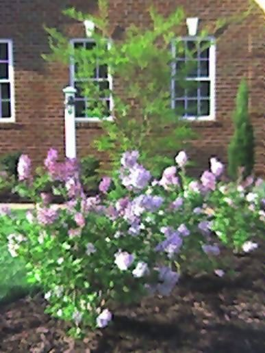Lilacs in morning dew