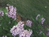 Monarch with lilacs