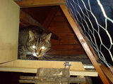 cat in henhouse
