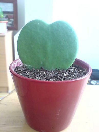 The cactus says happy valentine!