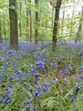 Blue bells near Rufford, Nottinghamshire