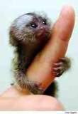 Info - Smallest Monkey in the world.