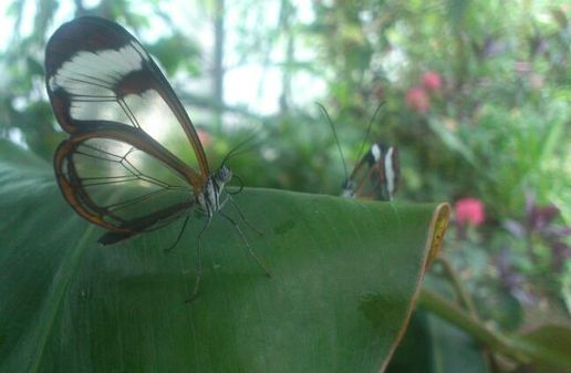 Courting butterflies