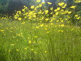 The day of the buttercups
