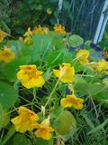 The nasturtiums attack