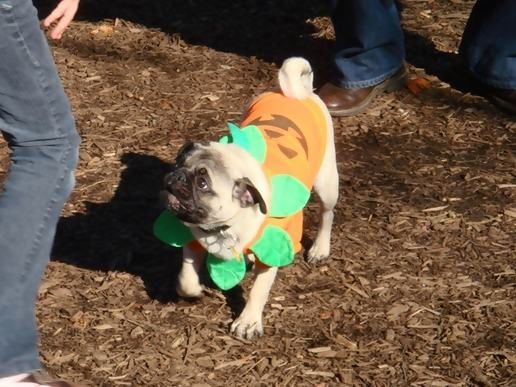 At the Pug-O-Ween meetup 1