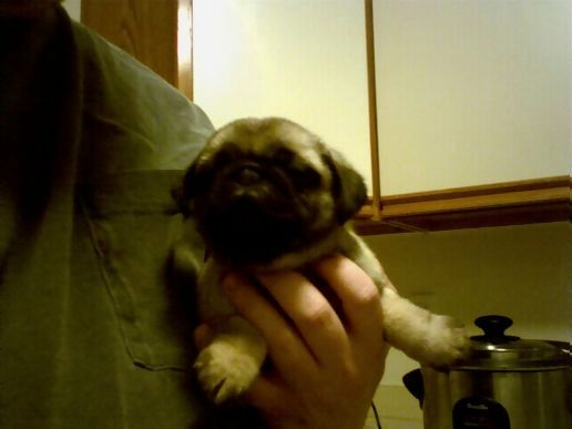 Pug Puppy Names