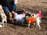 At the Pug-O-Ween meetup 2