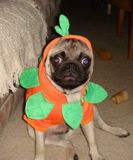 The Pumpkin Pug